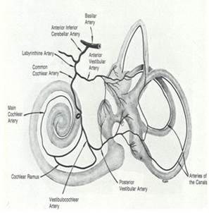 vascularchochlea